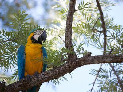 https://imgc.artprintimages.com/img/print/portrait-of-a-blue-and-yellow-macaw-sitting-on-a-tree-branch-in-bonito-brazil_u-l-pswegw0.jpg?p=0