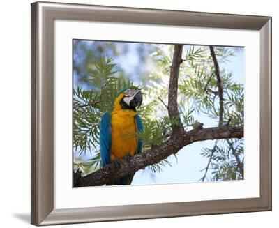 Portrait of a Blue and Yellow Macaw Sitting on a Tree Branch in Bonito, Brazil-Alex Saberi-Framed Photographic Print