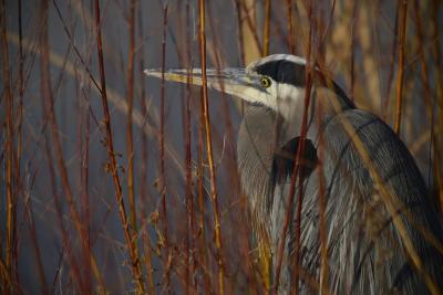 Portrait of a Blue Heron at a Pond-Raul Touzon-Photographic Print