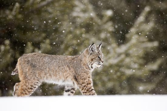 Portrait of a Bobcat, Lynx Rufus, in a Snow Shower-Robbie George-Photographic Print