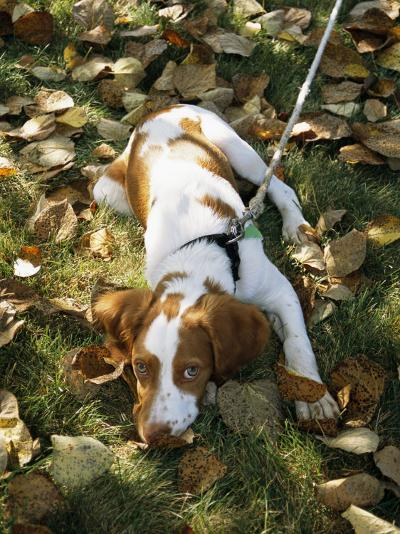 Portrait of a Brittany Spaniel Puppy Lying Among Fallen Autumn Leaves-Paul Damien-Photographic Print