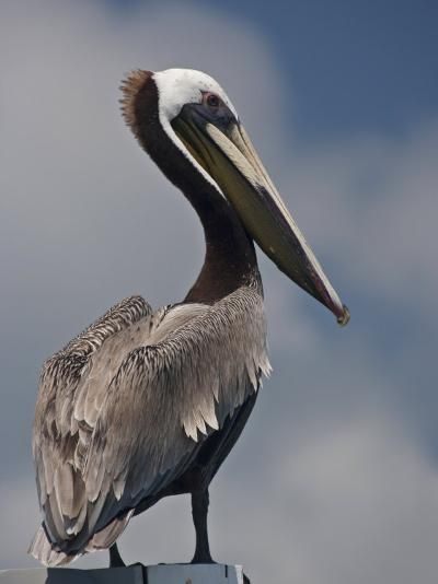 Portrait of a Brown Pelican in Belize-Michael Melford-Photographic Print
