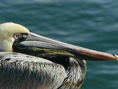 Portrait of a Brown Pelican-Marc Moritsch-Photographic Print