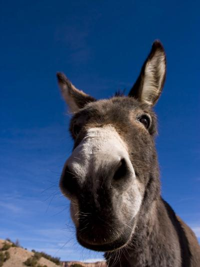 Portrait of a Burro in New Mexico-Ralph Lee Hopkins-Photographic Print