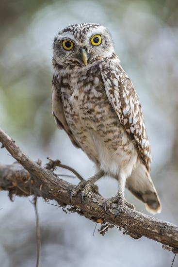 Portrait of a Burrowing Owl, Athene Cunicularia, Perching on a Branch-Javier Aznar-Photographic Print