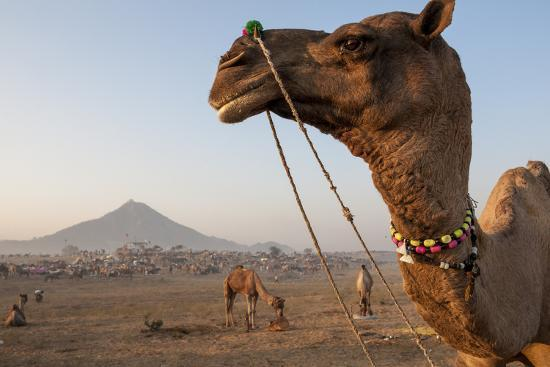 Portrait of a Camel Adorned with Colorful Beads in India-Jonathan Kingston-Photographic Print