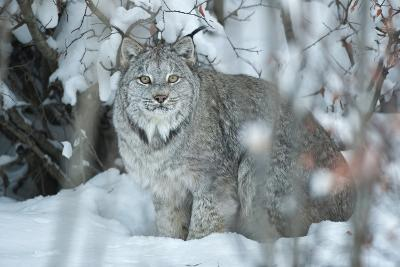 Portrait of a Canadian Lynx, Lynx Canadensis, in a Snowy Forest Setting-Peter Mather-Photographic Print