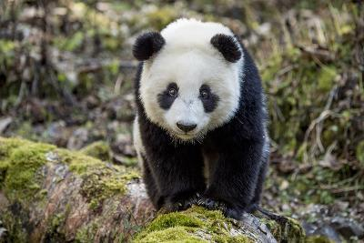 Portrait of a Captive-Born Giant Panda in the Dengsheng Forest-Ami Vitale-Photographic Print