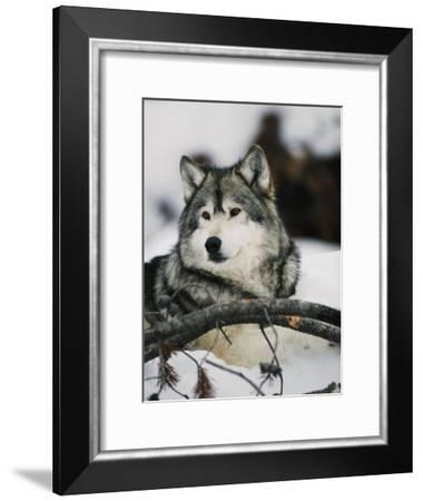 Portrait of a Captive Gray Wolf-Roy Toft-Framed Photographic Print