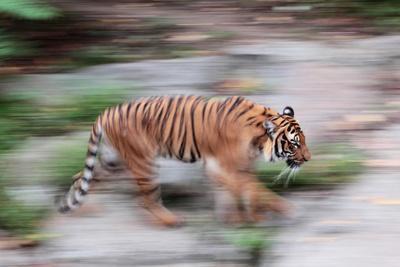 Portrait of a Captive Siberian or Amur Tiger, Panthera Tigris Altaica, an Endangered Species-Joe Petersburger-Photographic Print