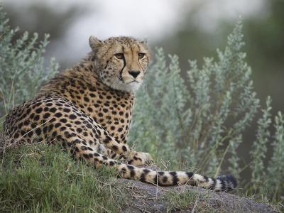 Portrait of a Cheetah, Acinonyx Jubatus, Resting-Roy Toft-Photographic Print