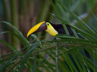 Portrait of a Chestnut-Mandibled Toucan, Ramphastos Swainsonii-Roy Toft-Photographic Print