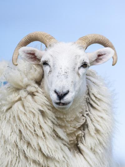 Portrait of a Cheviot Sheep on the Isle of Harris. Schotland-Martin Zwick-Photographic Print