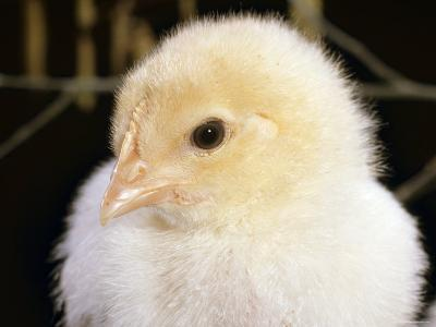 Portrait of a Chick, 3-Week-Old-Jane Burton-Photographic Print