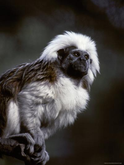 Portrait of a Cotton-Top Tamarin, and Detail of Fur Coat and Face, Melbourne Zoo, Australia-Jason Edwards-Photographic Print