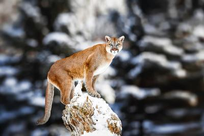 Portrait of a Cougar, Mountain Lion, Puma, Panther, Striking a Pose on a Fallen Tree, Winter Scene-Baranov E-Photographic Print
