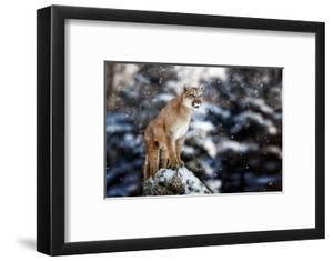 Portrait of a Cougar, Mountain Lion, Puma, Panther, Striking a Pose on a Fallen Tree, Winter Scene