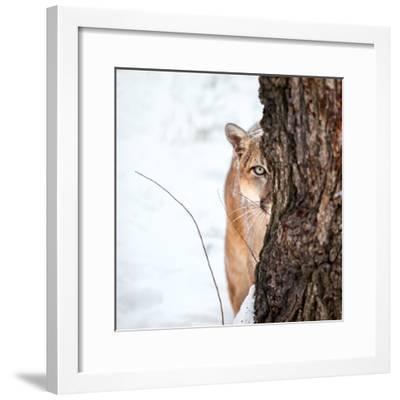 portrait of a cougar mountain lion puma striking pose