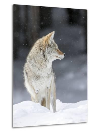 Portrait of a Coyote, Canis Latrans, in a Snowy Landscape-Robbie George-Metal Print