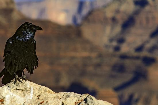 Portrait of a Crow, Corvus Species, Perched on a Rock at the Edge of the Grand Canyon-Babak Tafreshi-Photographic Print