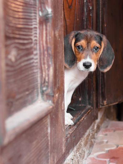 Portrait Of A Cute Beagle Puppy Sitting On Doorstep-jaycriss-Photographic Print