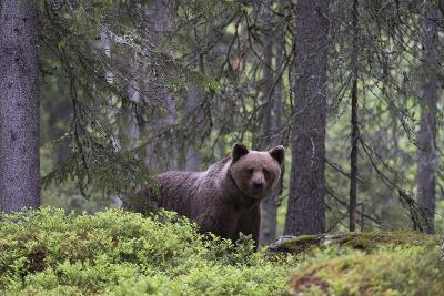 Portrait of a European Brown Bear, Ursus Arctos Arctos, in the Forest-Sergio Pitamitz-Photographic Print