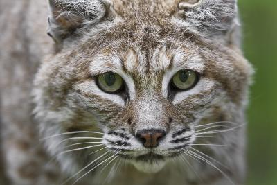 Portrait of a Female Bobcat, Lynx Rufus, Stalking-Karine Aigner-Photographic Print