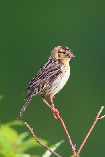 Portrait of a Female Bobolink, Dolichonyx Oryzivorus, with a Spider in Her Beak-George Grall-Photographic Print