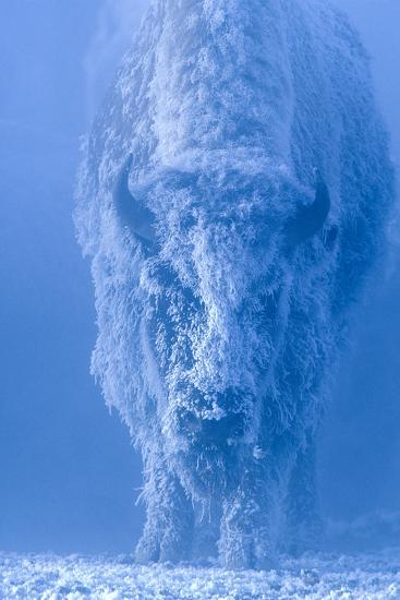 Portrait of a Female Buffalo or Bison with Frozen Snow on its Coat-Tom Murphy-Photographic Print