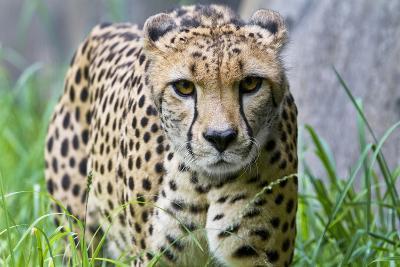 Portrait of a Female Cheetah, Acinonyx Jubatus-Karine Aigner-Photographic Print
