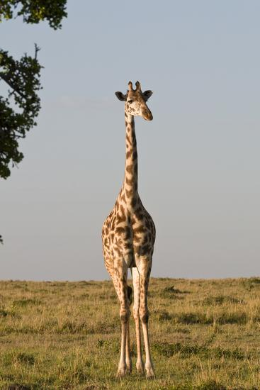 Portrait of a Female Maasai Giraffe, Giraffa Camelopardalis Tippelskirchi-Sergio Pitamitz-Photographic Print