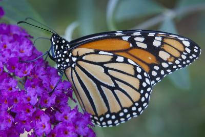 Portrait of a Female Monarch Butterfly, Danaus Plexippus, Sipping Nectar from a Flower-Kent Kobersteen-Photographic Print