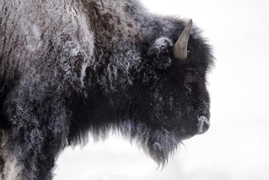 Portrait of a Frost-Covered American Bison, Bison Bison, in Snow-Robbie George-Photographic Print