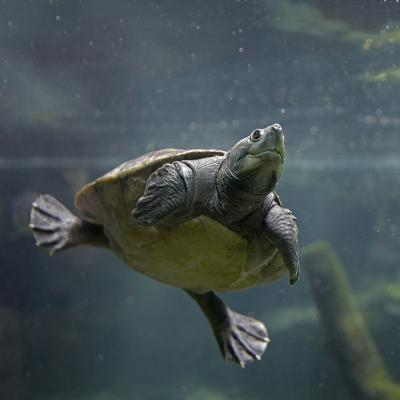 Portrait of a Giant Asian Pond Turtle, Singapore-Tim Fitzharris-Photographic Print