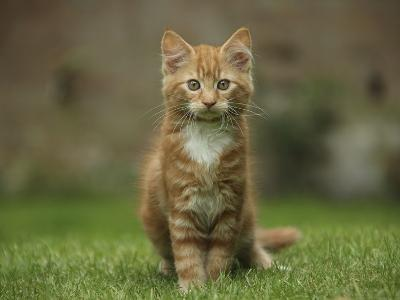 Portrait of a Ginger Kitten on Grass-Mark Taylor-Photographic Print