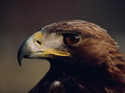 Portrait of a Golden Eagle, Highlands, Scotland, United Kingdom, Europe-Rainford Roy-Photographic Print