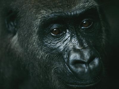 Portrait of a Gorilla-Michael Nichols-Photographic Print