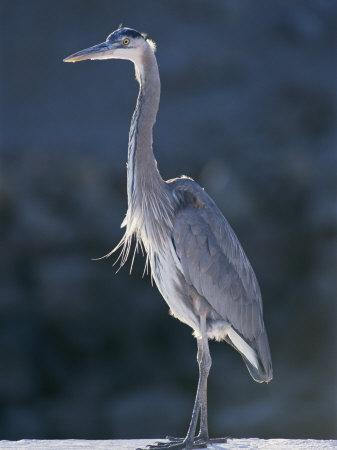Portrait of a Great Blue Heron-Rich Reid-Photographic Print