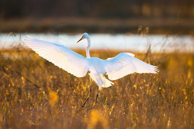 Portrait of a Great Egret, Ardea Alba, Landing in a Marsh-Robbie George-Photographic Print