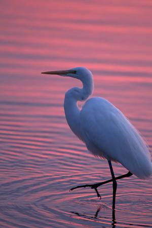 https://imgc.artprintimages.com/img/print/portrait-of-a-great-egret-ardea-alba-walking-the-shore-at-sunset_u-l-pinv8t0.jpg?p=0