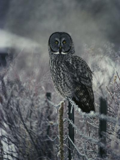 Portrait of a Great Gray Owl on a Frosty Fence in Winter-Michael S^ Quinton-Photographic Print