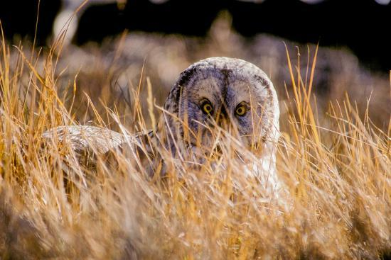 Portrait of a Great Gray Owl, Strix Nebulas, Hiding in Dry Grass-Tom Murphy-Photographic Print