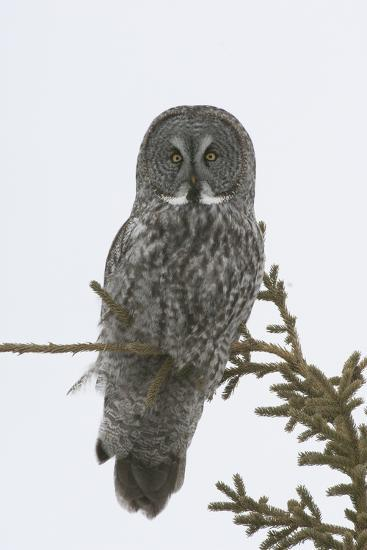 Portrait of a Great Gray Owl, Strix Nebulosa, Perched in a Tree-Michael S^ Quinton-Photographic Print