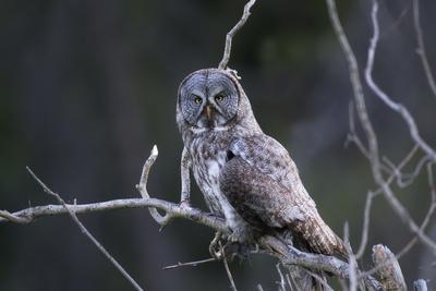 https://imgc.artprintimages.com/img/print/portrait-of-a-great-gray-owl-strix-nebulosa-with-a-vole-in-its-talons_u-l-polkb90.jpg?p=0