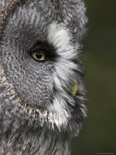 Portrait of a Great Grey Owl (Strix Nebulosa), Captive, United Kingdom, Europe-Ann & Steve Toon-Photographic Print