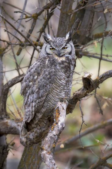 Portrait of a Great Horned Owl, Bubo Virginianus, Perched on a Tree Branch-Robbie George-Photographic Print