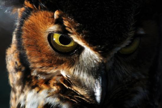 Portrait of a Great Horned Owl, Bubo Virginianus-Keith Ladzinski-Photographic Print