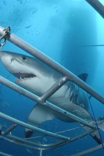 Portrait of a Great White Shark, Carcharodon Carcharias, Approaching a Diving Cage-Jeff Wildermuth-Photographic Print