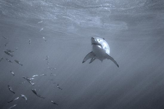 Portrait of a Great White Shark, Carcharodon Carcharias, Swimming Near Bait Fish-Jeff Wildermuth-Photographic Print