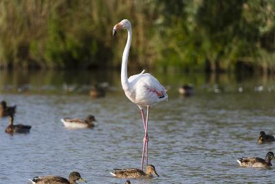 Portrait of a Greater Flamingo, Phoenicopterus Roseus, Standing Among Ducks in Water-Sergio Pitamitz-Photographic Print